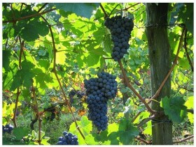 Barbera dAsti grapes 280x211 Cin, cin with a bottle of Barbera dAsti