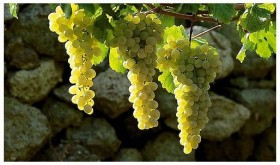 Falanghina grapes 280x165 One of our favourite wines: Falanghina from Campania region